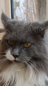 Maine Coon Kater Gizmo