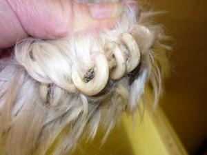 so sollten keine Krallen eines Hundes aussehn...