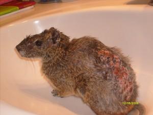 Felsenmeerschwein nach Stress- und Bissverletzung