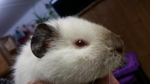 Teddy-Himalaya-Baby Wilma