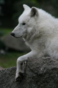 weisse Wölfin